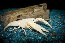 """Procambarus clarkii """"white pearl"""" -  weißer Sumpfkrebs 2 by Roland Hemmpel"""