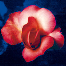 A ROSE IS A ROSE IS A ROSE (blue) by FILIPPO PARTESOTTI