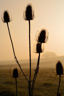 Teasels Silhouette at Sunrise by Craig Joiner