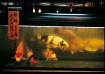 Koy-carp-fishes