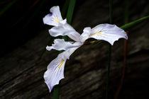 Pale Iris von Helen K. Passey
