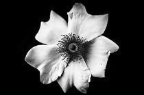 White flower on black by Mirko Chessari