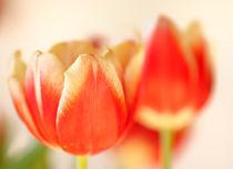 Tulpen-zwei