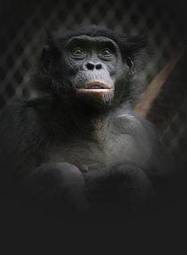 Bonobo by Elke Balzen