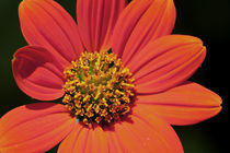 Vibrant Orange Flower by Carolyn Cochran