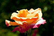 Rose In The Sun by Carolyn Cochran