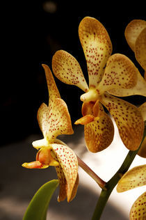 Sun Colored Orchids by Carolyn Cochran