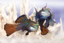 Mandarin Leierfisch von Werner Dreblow