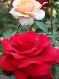 Rose für Rebekka by Ka Wegner