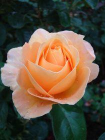 Rose für Elke von Ka Wegner