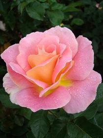Rose für Stella by Ka Wegner