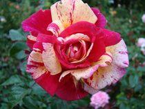 Rose für Kathrin by Ka Wegner