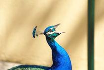Peacock  by yunaayame and goncalopp