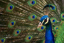 Peacock (Pavo Cristatus) by yunaayame and goncalopp