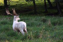 White deer by Falko Follert