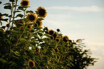 Sonnenblumen - Helianthus  von sonaeo