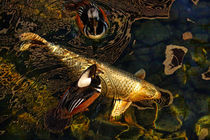 Koi (Cyprinus carpio) and Mergansers by Eye in Hand Gallery