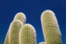 Cactus by alejo schatzky
