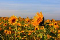 Sonnenblumen von Wolfgang Dufner