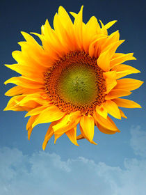 Sunflower von flowers-and-sun