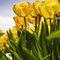 Tulpen-in-tegenlicht
