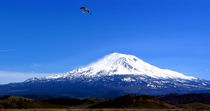Gull-over-shasta