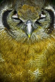 Scops owl von Stefan Antoni - StefAntoni.nl