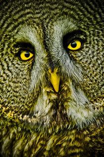 'Great grey owl' von Stefan Antoni - Snavelaar.nl