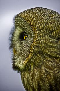 Great grey owl by Stefan Antoni - StefAntoni.nl