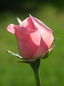 Die letzte Rose? von flowers-and-sun