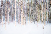 Winter Birches von Riku Nikkila