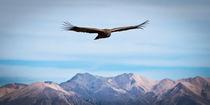 Andean Condor von Benjamin Niven
