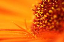 Orange Flower Macro von Megan Schatzman