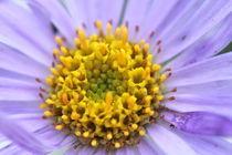 Purple and Yellow Flower von Megan Schatzman