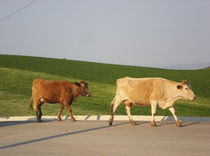 Cows taking the street in Greece by Alkisti *