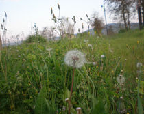 Dandelion - Beautiful white flower in spring Greece by Alkisti *