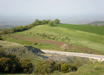 Cows grazing in spring Greece by Alkisti *