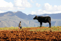 African farmer and cow in Lesotho by Wiebke Wilting