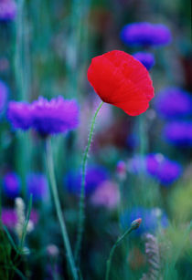 477-poppy-coneflower-slide-970090-002