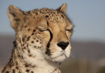 Portrait of a cheetah with closed eyes by metalmaus
