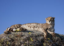 cheetah laying on a small hill by metalmaus