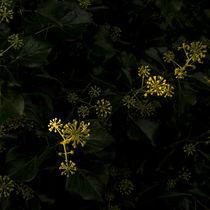 Blattusmaxeus-0000759
