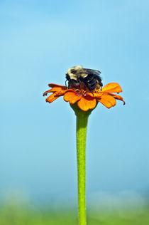 Bumblebee on zinnia bloom. by John Greim
