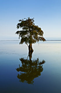 Lone cypress tree in water. by John Greim