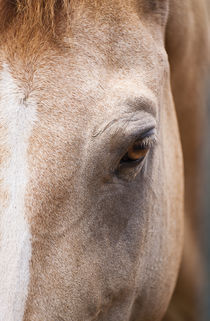 Close-up of a Chincoteague wild pony, Assateague, Virginia by John Greim