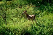 Deer Faun by John Greim