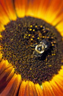 Bee and sunflower. by John Greim