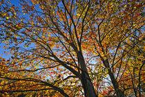 Autumn foliage, Connecticut, USA von John Greim