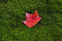 Red maple leaf green moss. by John Greim