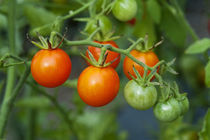 Cherry Tomato von John Greim